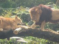 ライオンだー!