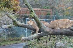 lion2015.JPG