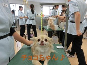 chiwawacyoko.jpg
